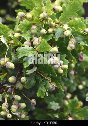 A heavy crop of long stalked acorns, the fruit a Pedunculate Oak tree (Quercus robur). Woodchurch, Kent, UK. - Stock Image