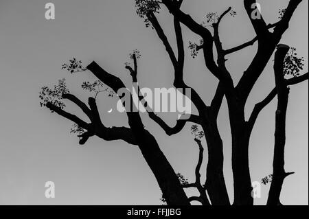 Silhouette of a heavily pruned plane tree against a clear sky with the crescent moon visible through a gap in the - Stock Image