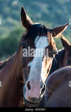 USA, California, Parkfield, V6 Ranch chestnut brown horses with a white blaze - Stock Image