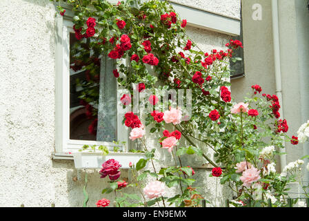 red and pink flowers trailing down the side of a building - Stock Image
