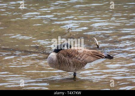 Canada Goose (Branta canadensis) sleeping in shallow creek for protection, Castle Rock Colorado US. Photo taken in April. - Stock Image