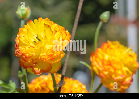 Ranunculus asiaticus red yellow (Persian buttercup) - Stock Image