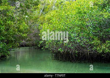 Black mangrove (Avicennia germinans), Acanthus family (Acanthaceae), Isabela Island, Galapagos Islands, Ecuador - Stock Image