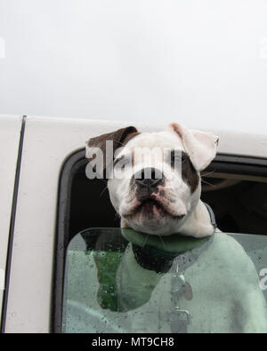 An aggressive American Pit Bull Terrier leaning out of the window of a pickup truck in a parking lot - Stock Image
