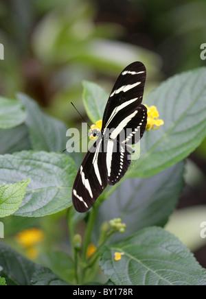 Zebra Longwing or Zebra Heliconian, Heliconius charitonius, Heliconiinae, Nymphalidae, South and North America, - Stock Image