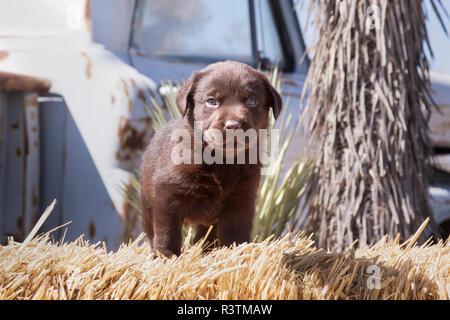 Chocolate Labrador Retriever puppy sitting on a hay bale (PR) - Stock Image