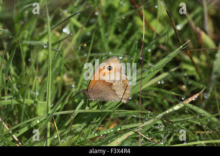 Meadow brown Maniola jurtina Female sheltering from rain in long grass Carmarthenshire June 2015 - Stock Image