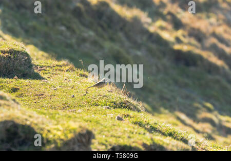 Skylark (Alauda arvensis) seeking out insects from the ground, Hay on Wye Powys Wales UK. March 2019. - Stock Image