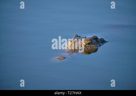 Eyes of crocodile sticking out on flat water in early morning light. - Stock Image