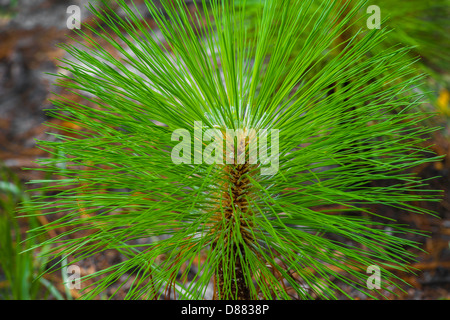 Loblolly Pine Tree Seedling - Stock Image