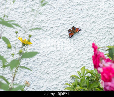 Peacock butterfly - Aglais io - basking on white house wall to absorb heat - the heat is reflected onto the underside of the butterfly's wings - uk - Stock Image
