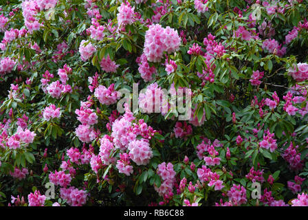 Rhododendron bush covered in a mass of pink flowers in Spring, Dorset, England - Stock Image