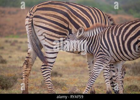 Mother and juvenile Burchell's zebra (Equus quagga burchellii) together.  Baby is feeding off mom. Close up of young reaching for mother's mammal - Stock Image