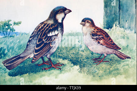 EDITORIAL ONLY  Male and female house sparrows. Passer domesticus. From a contemporary print, c.1935. - Stock Image