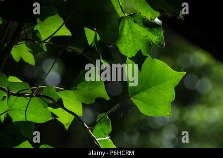 Back lit Ivy leaf - Stock Image