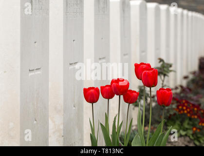 A cluster of blood-red tulips stand before white gravestones to in Hooge Crater Cemetery - a WWI burial site in the Ypres salient, Belgium. - Stock Image