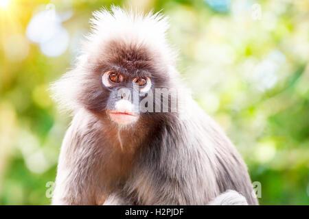 Dusky Leaf Monkey, close up portrait of a monkey face in a tropical forest, wildlife safari travel, Monkeyland, - Stock Image
