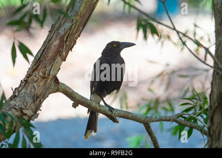 Pied Currawong (Strepera graculina)  perched on a branch, Lake Tinaroo, Atherton Tableland,  Far North Queensland, FNQ, QLD, Australia - Stock Image