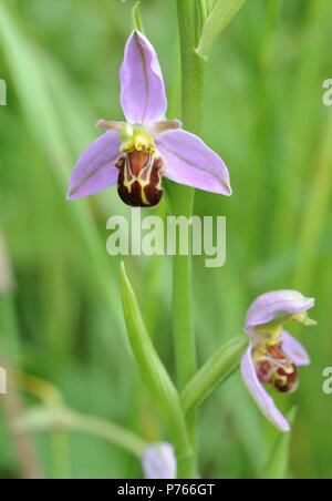 Flower of a Bee Orchid (Ophrys apifera). Rye Harbour Nature Reserve. Rye, Sussex, UK - Stock Image