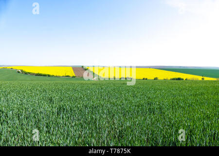 Green wheat fields. Agricultural land. Treated spacious field in the plane. Spring. Flowering rape. - Stock Image