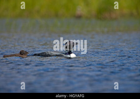 A common loon, Gavia immer, with two chicks on East Inlet in Pittsburg, New Hampshire.  A pond upstream of Second - Stock Image