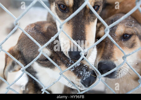 Sled dogs - Stock Image