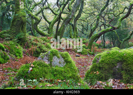 Moss covered trees in Dewerstone Wood, Devon - Stock Image
