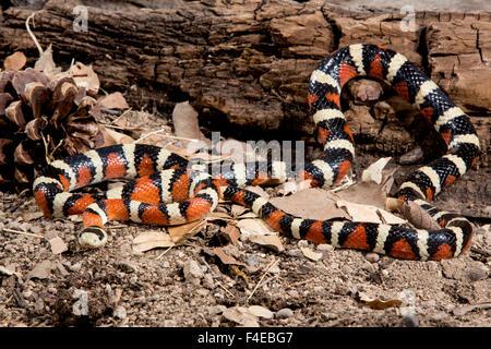 Arizona, Madera Canyon. Sonoran mountain king snake. Credit as: Wendy Kaveney / Jaynes Gallery / DanitaDelimont.com - Stock Image