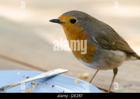 Robin erithacus rubecula scavenging crumbs from a plate - Stock Image