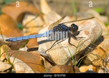Keeled Skimmer Dragonfly - Stock Image