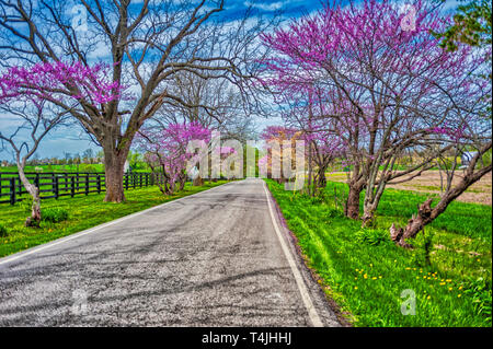 Redbud trees at springtime in Woodford County Kentucky - Stock Image