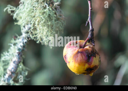 Yellow heirloom apples rotting on the tree after winter freeze in Corvallis, Oregon, USA. - Stock Image