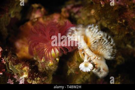 Serpula columbiana - Stock Image
