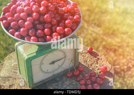 Sweet cherry ripe on the scales in the garden - Stock Image