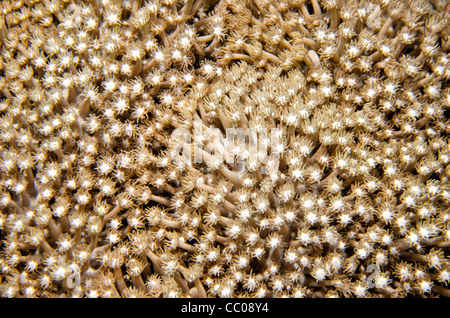 Underwater close-up shot of anemone coral on Swains Reef on the Great Barrier Reef of the coast of Queensland, Australia. - Stock Image