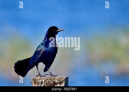Common grackle posing - Stock Image