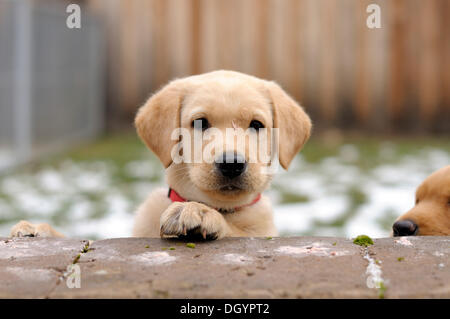 Blonde Labrador Retriever puppy looking over a wall - Stock Image