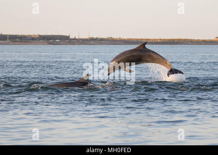 Juvenile Bottlenose dolphin (Tursiops truncatus) leaping/breaching in the Moray Firth, Chanonry Point, Black Isle, Scotland, UK, Europe - Stock Image