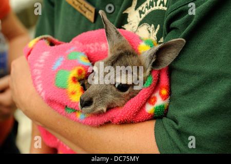Orphaned baby Kangaroo, or Joey - Stock Image