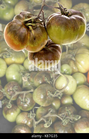 Close up image of tomatoes suffering from blight with the background faded to allow for text - Stock Image