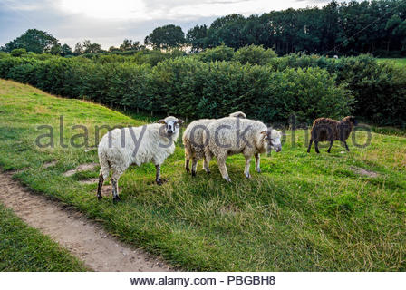 A flock of Walachian sheep graze the Dannevirke rampart that encircles the site of the ancient Viking market town of Haithabu (AKA Haddeby, Hedeby). - Stock Image