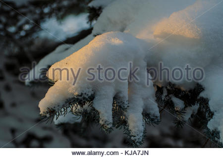 Last rays of sun on the crisp snow on the fir branch. - Stock Image