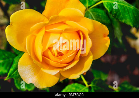 golden celebration rose yellow flower background - Stock Image