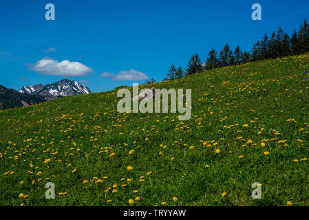 Trail to Mount Wendelstein in Upper Bavaria in the late Spring, featuring green grass and a field covered with dandelions, due to eutrophication of th - Stock Image