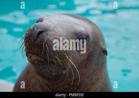 Steller Sea Lion, Alaska SeaLife Center, Seward, Alaska. - Stock Image