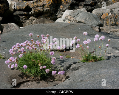 Thrift plants on a rocky shore on the Isle of Eigg, Scotland - Stock Image