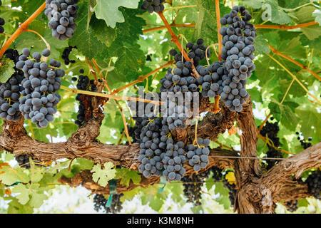 grapes on grape vine - Stock Image