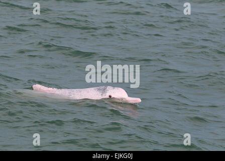 Chinese White Dolphin, Indo-Pacific humpback dolphin, Sousa chinensis adult surfacing, Hong Kong - Stock Image