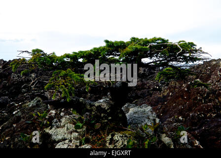 Natural bonsai plant hundreds of years old clinging to oceanside rocks west coast Vancouver Island BC Canada - Stock Image