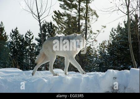 Winter Wolves, Montana, - Stock Image